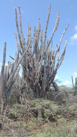 Cacti Tree Bon S