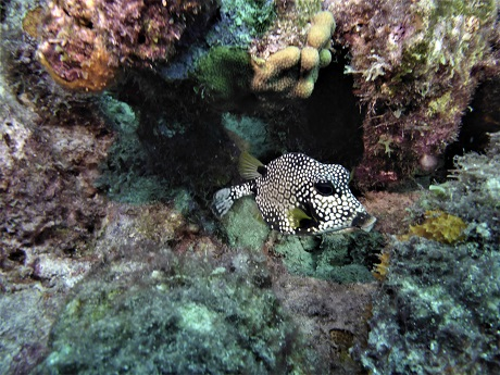 smooth trunkfish adult adj