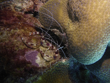 Banded coral shrimp, two of them, RP