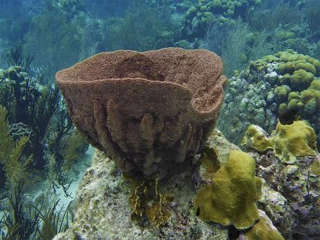 Barrel sponge, SB
