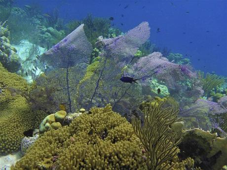 Purple sea fan with blue chromis, SB