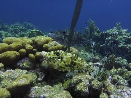 Scrawled filefish (two) with trumpetfish photo bomb, RP