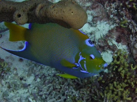 Queen Angelfish 2, FOR