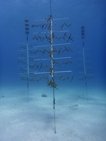 Staghorn coral restoration project, RPW